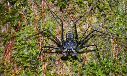 There's a Great Whip Spider Boom. What Gives?